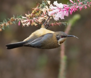 A juvenile eastern spinebill. Note how flexible they are, you should have seen it on the flyscreen; it was like an acrobat. This photo isn't mine.